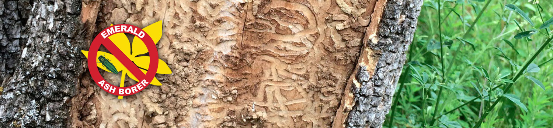 ash-tree1